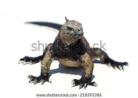 Galapagos Marine Iguana posing for the camera - stock photo