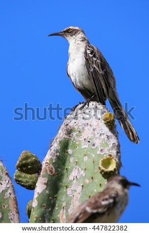 Galapagos Mockingbird (Nesomimus parvulus) sitting on a cactus, Genovesa Island, Galapagos National Park, Ecuador - stock photo