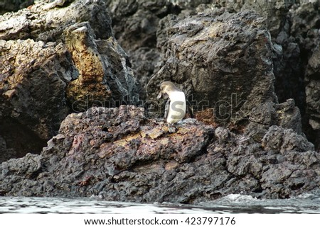 Galapagos penguin on lava rock after leaving the water on Puerto Villamil in the Galapagos Islands - stock photo