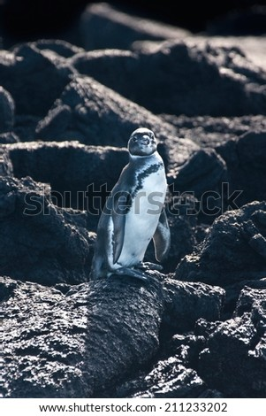 Galapagos penguin (Spheniscus mendiculus) standing on a lava rock, Isabela island, Galapagos, Ecuador - stock photo
