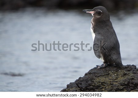 Galapagos Penguin (Spheniscus mendiculus) standing on a rock and looking at the ocean on Isabela Island. Galapagos Islands. Ecuador 2015. - stock photo