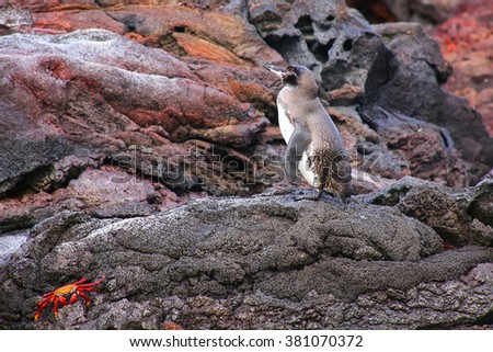Galapagos Penguin (Spheniscus mendiculus) standing on rocks, Bartolome island, Galapagos National Park, Ecuador. It is the only penguin that lives north of the equator in the wild. - stock photo