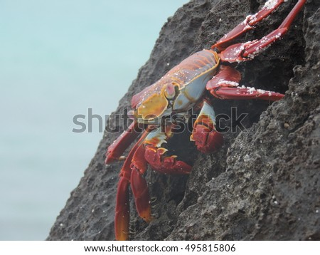 Galapagos Red Crab standing on a black rock