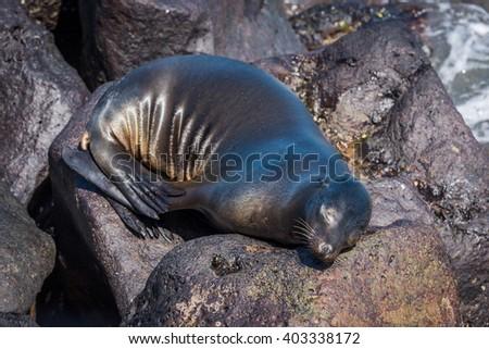 Galapagos sea lion asleep on volcanic rocks - stock photo