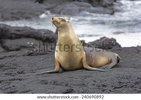 Galapagos Sea LIon on a Lava Bed on Fernandina Island - stock photo