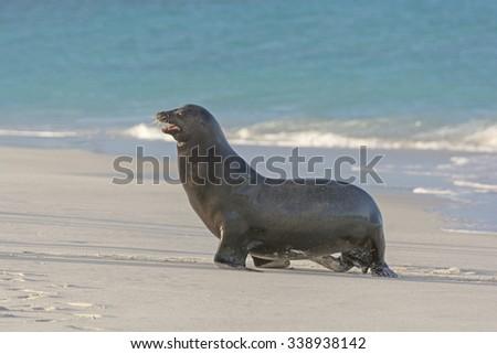 Galapagos Sea Lion Walking on Shore on Espanola Island in the Galapagos - stock photo