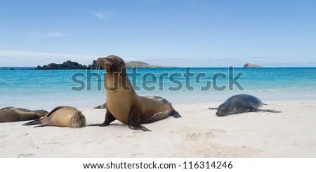 Galapagos sea lion (Zalophus californianus wollebacki) basking on the beach, Gardner Bay, Espanola Island, Galapagos Islands, Ecuador - stock photo