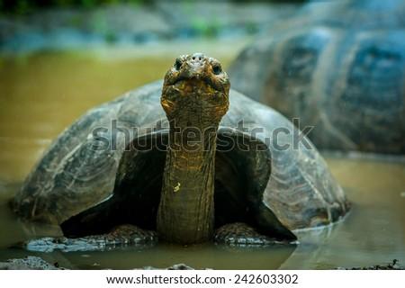 galapagos turtlein lagoon  in san cristobal galapagos ecuador - stock photo