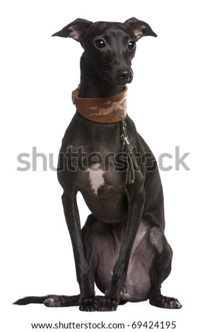 Galgo Espanol or Spanish greyhound, 9 months old, sitting in front of white background