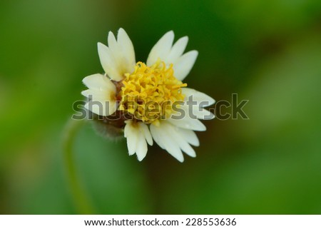 Galinsoga Parviflora - stock photo