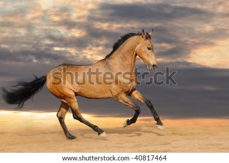 Galloping bay horse - stock photo