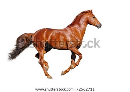 Galloping chestnut horses, isolated on white background - stock photo