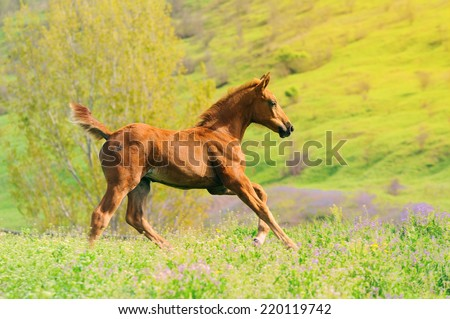 Galloping cute chestnut  foal in summer field - stock photo