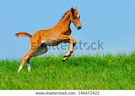 Galloping cute sorrel foal in summer field - stock photo