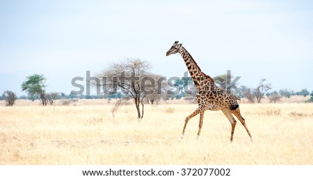 Galloping Giraffe on safari toward Serengeti - stock photo