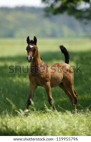 galloping horse on the meadow - stock photo
