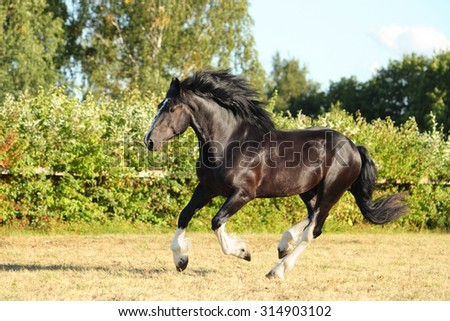 Galloping shire horse in evening paddock