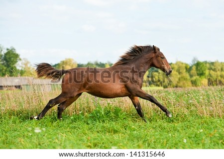 Galloping young horse