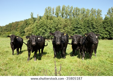 Galloway cattle on a meadow