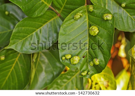 galls disease on the tree leaf - stock photo