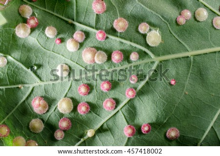 galls under oak leaf (light from side) - stock photo