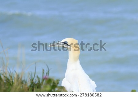 Gannet, close up profile. - stock photo