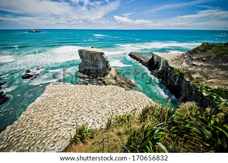 Gannet colony, Muriwai Beach, New Zealand  - stock photo