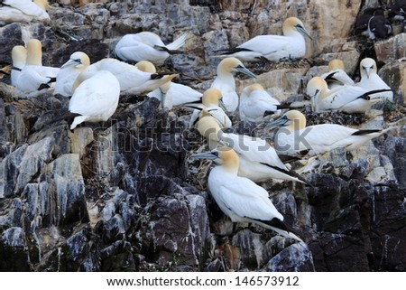 gannet in colony in the cliffs of rock bass - stock photo