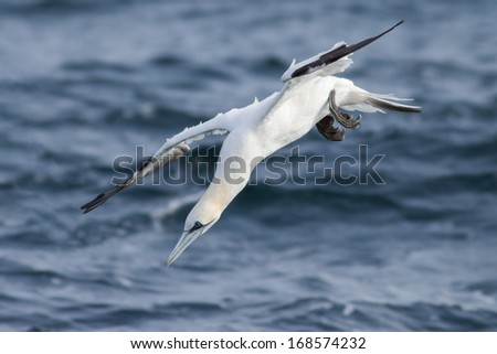 Gannet is diving into the sea