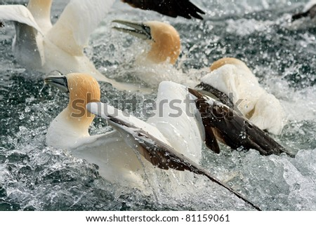 Gannets fishing off Bass Rock in the Forth of Forth