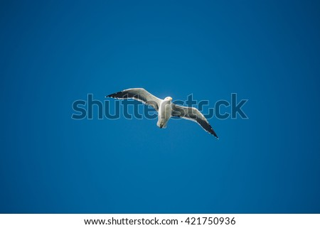 Gannets flying in New Zealand