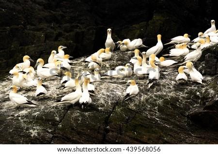 Gannets, Ireland, Co Kerry, Skellig Michael  - stock photo