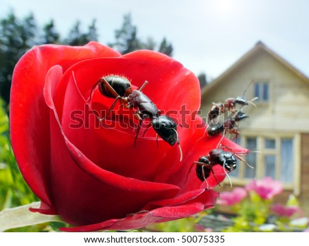 garden ants on rose and summerhouse, wideangle macro - stock photo