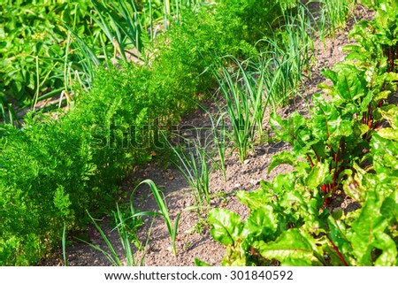 garden bed with carrots, onions and beetroots