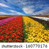 Garden buttercups /ranunculus/  bloom bright contrasting colors picturesque lanes. Phenomenally beautiful multi-colored flower fields. Strong wind drives the clouds - stock photo