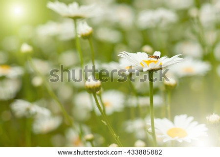 garden camomile with an insect - stock photo