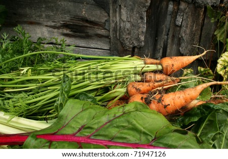 Garden carrots  and swiss chard - stock photo