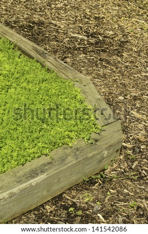 Garden corner: Part of raised bed with green ground cover by path strewn with wood chips