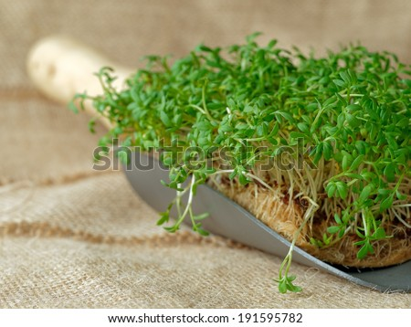 Garden cress on garden trowel - stock photo