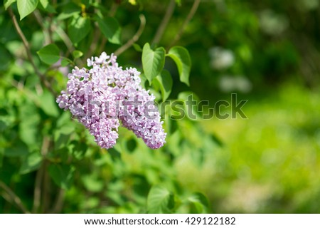 Garden flower background. Awesome view of blooming lilac in garden. Garden flower. Garden tulip. Garden. Garden view. White garden. Garden. Nice garden. Garden beauty. Home garden Garden Spring garden - stock photo