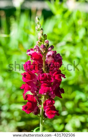 Garden flower with bright red petals - stock photo