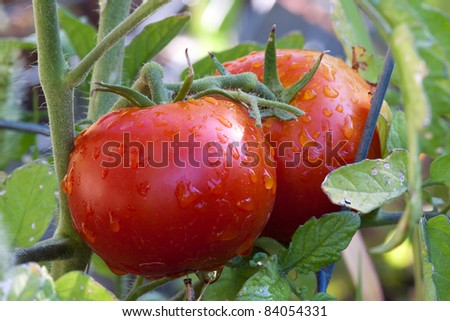 Garden Fresh Red Ripe Tomatoes on Vine - stock photo