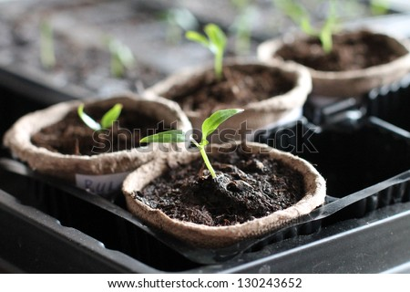 Garden grow vegetable. Eco. germinacion - stock photo