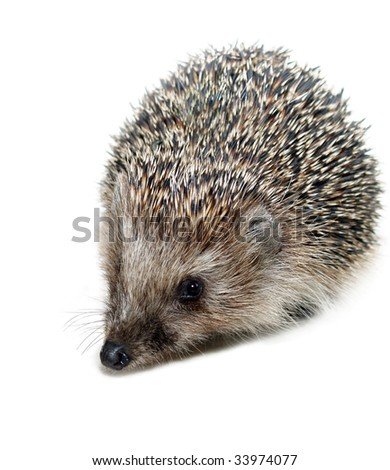 garden hedgehog - stock photo
