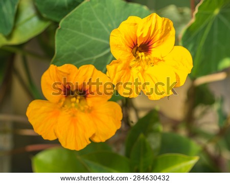 Garden Nasturtium (Tropaeolum majus) is a flowering plant in the family Tropaeolaceae, originating in the Andes from Bolivia north to Colombia. - stock photo