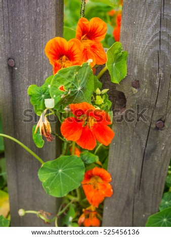 Garden Nasturtium (Tropaeolum majus) is a flowering plant in the family Tropaeolaceae, originating in the Andes from Bolivia north to Colombia.