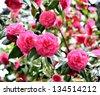 Garden of camellia flower - stock photo