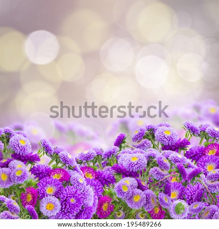 garden of violet aster flowers with copy space on bokeh background - stock photo