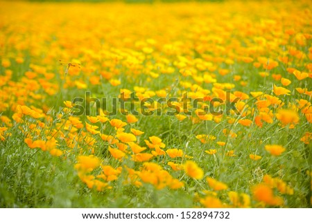 Garden of Yellow poppy and dragonfly - stock photo