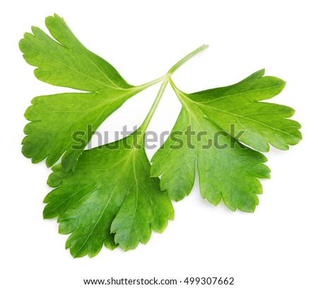 Garden parsley herb (coriander) leaf isolated on white background
